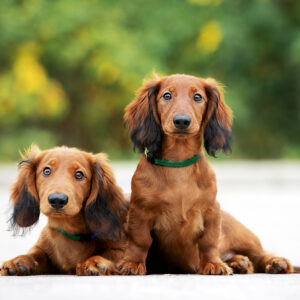 Muurkalender Honden 2020 Februari