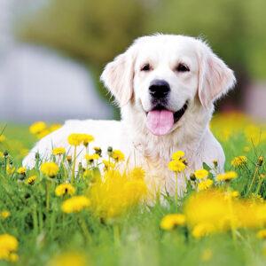 Muurkalender Honden 2020 Maart