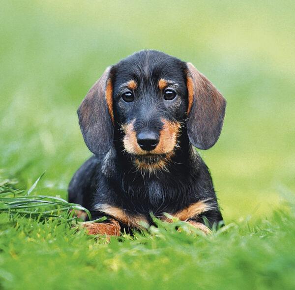Muurkalender Honden 2020 April