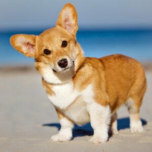 Muurkalender Honden 2020 Juni