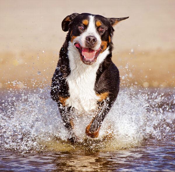 Muurkalender Honden 2020 Juli