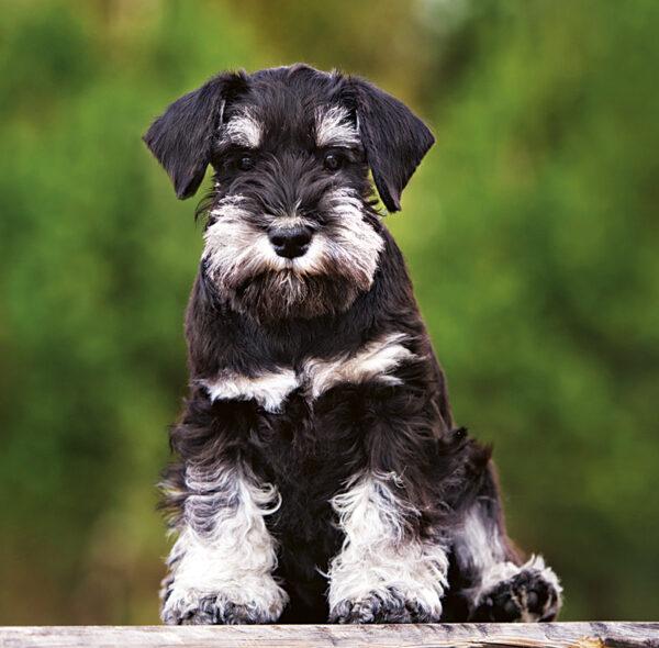 Muurkalender Honden 2020 September