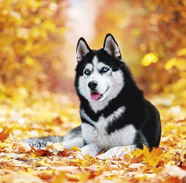 Muurkalender Honden 2020 november