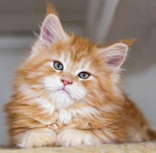 Muurkalender Cats 30x30 2021 Februari