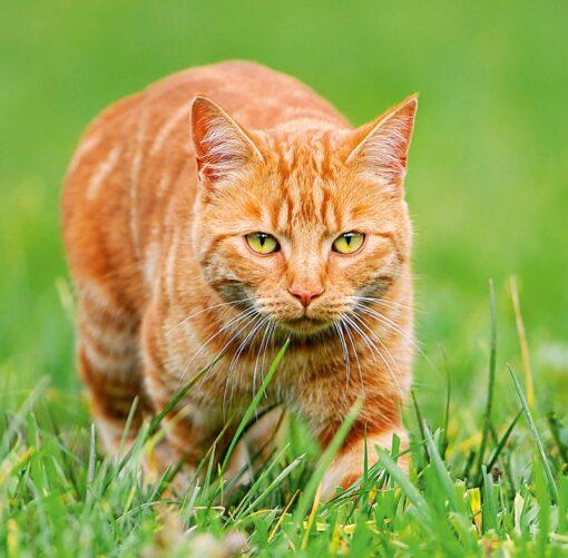 Muurkalender Cats 30x30 2021 September