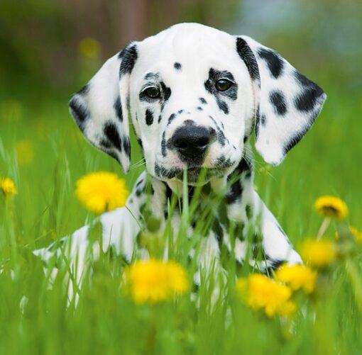 Muurkalender 30x30 Dogs 2021 Augustus