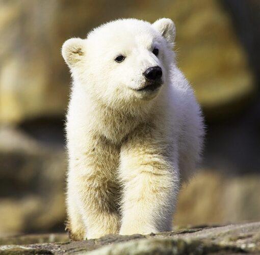 Muurkalender 30x30 Baby Animals 2021 Februari