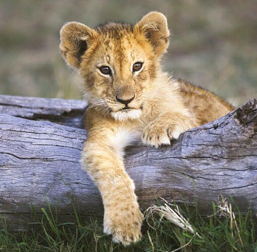 Muurkalender 30x30 Baby Animals 2021 December