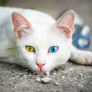 Muurkalender Cats 2022 Augustus